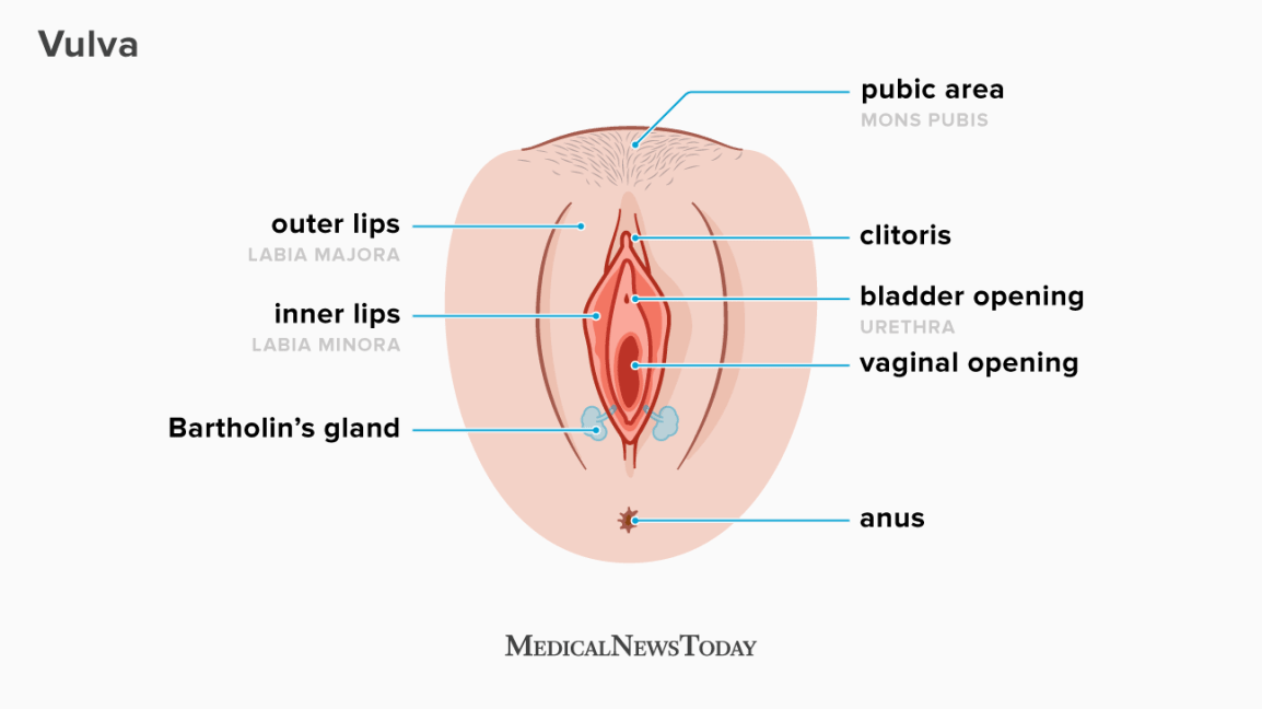 an infographic showing the vulva
