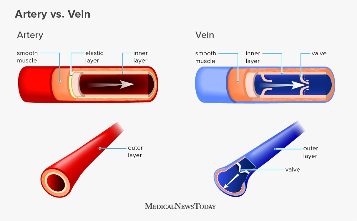 an illustration showing the difference between veins and arteries
