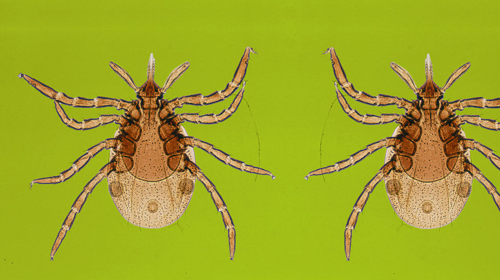 An illustration of a deer tick, which can spread lyme disease, which is not contagious through human-to-human contact.