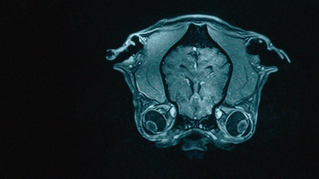 an mri scan of a dogs brain