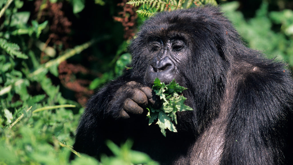 a big gorilla eating leaves