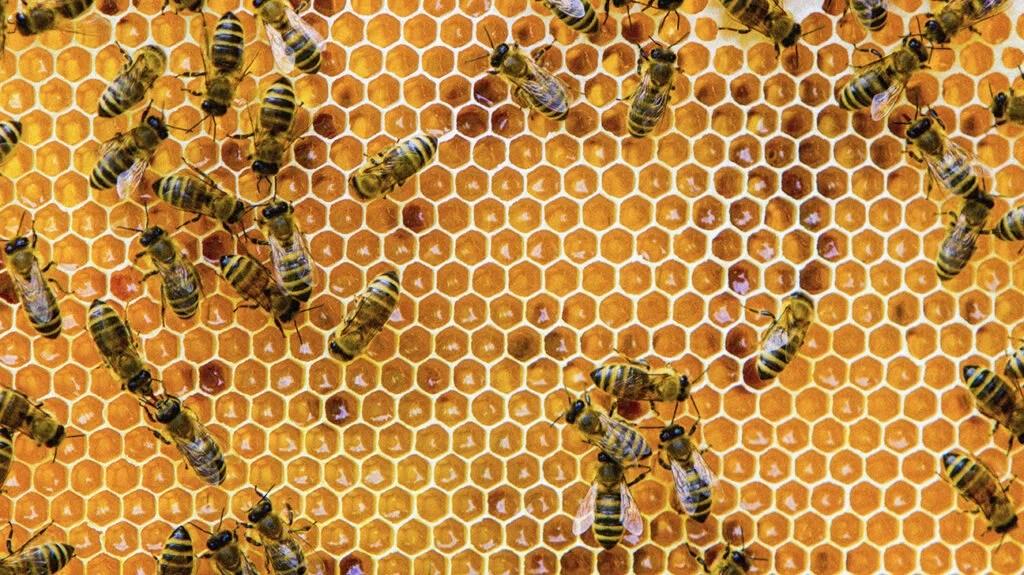 """Une photo d'abeilles avec un nid d'abeille pour accompagner l'article de presse, """"Le miel peut-il soulager les symptômes de la toux et du rhume?"""""""