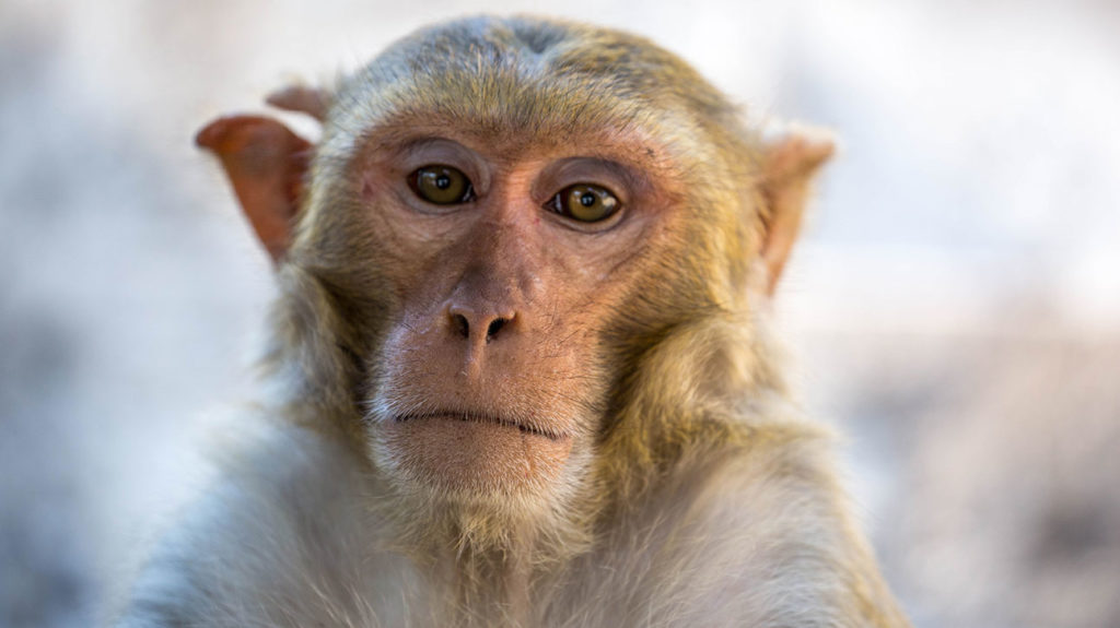 A rhesus macaque monkey; a new study has found a vaccine highly effective at protecting rhesus macaque monkeys from COVID-19.