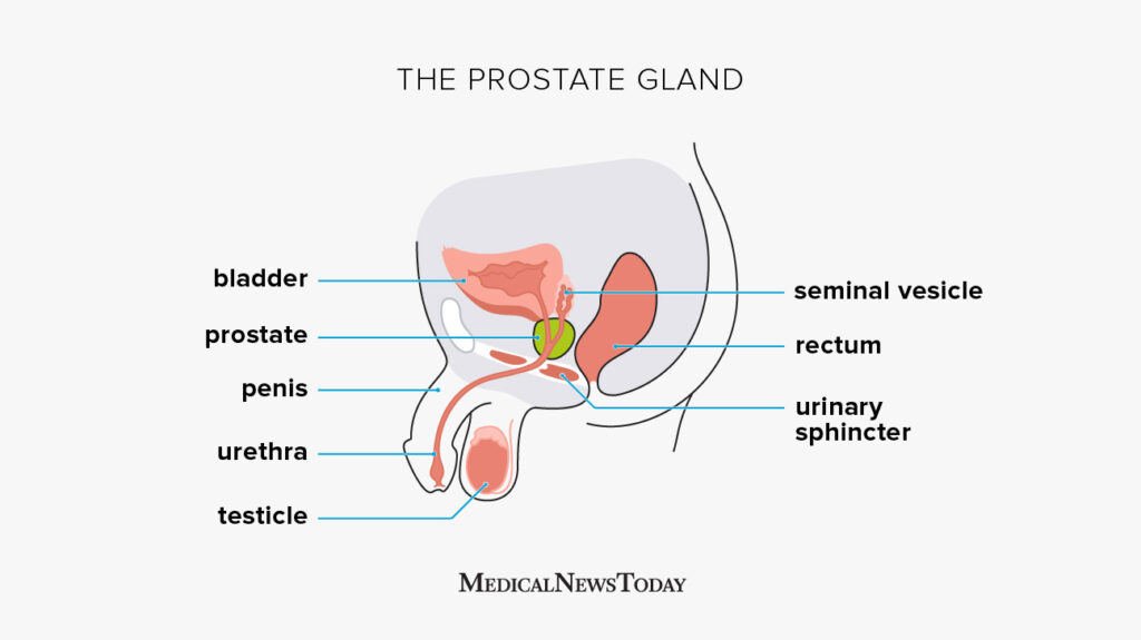 Prostate Functions Diseases And Tests