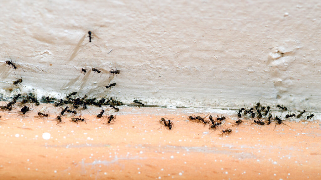 Ants gather against a wall and floor tile.