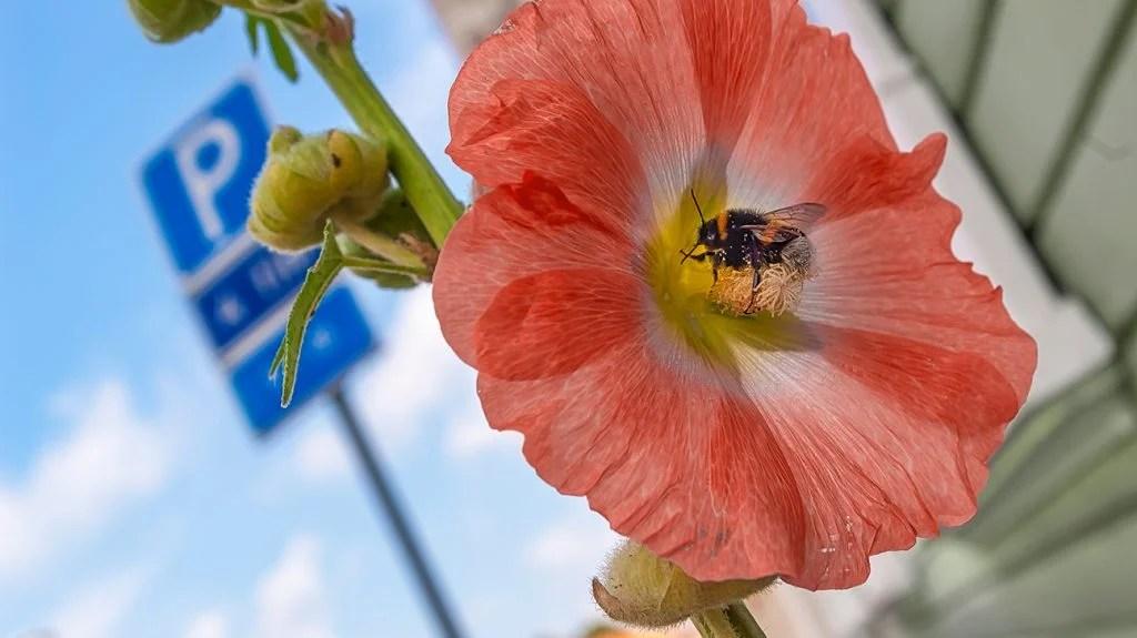 一只蜜蜂授粉一朵花