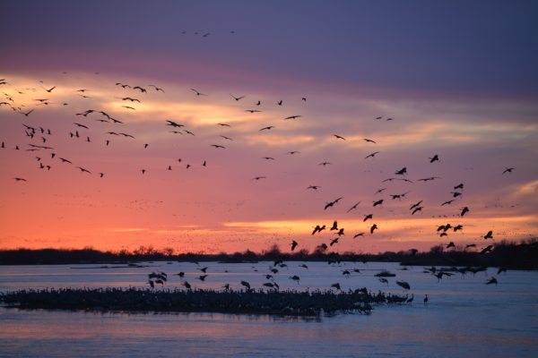 We watched thousands of Sandhill Cranes gather at sunset on the Platte River near Grand Island, Nebraska.