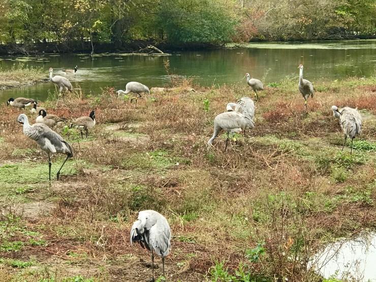 Sandhill crane at the Lee G. Simmons Conservation Park & Wildlife Safari.