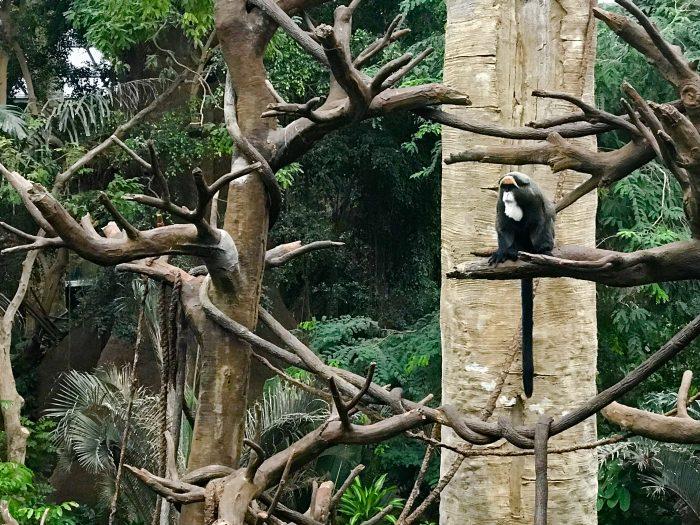 Lied Jungle, monkey, Henry Doorly Zoo, Omaha, Nebraska