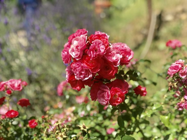 Roses in Tuscany