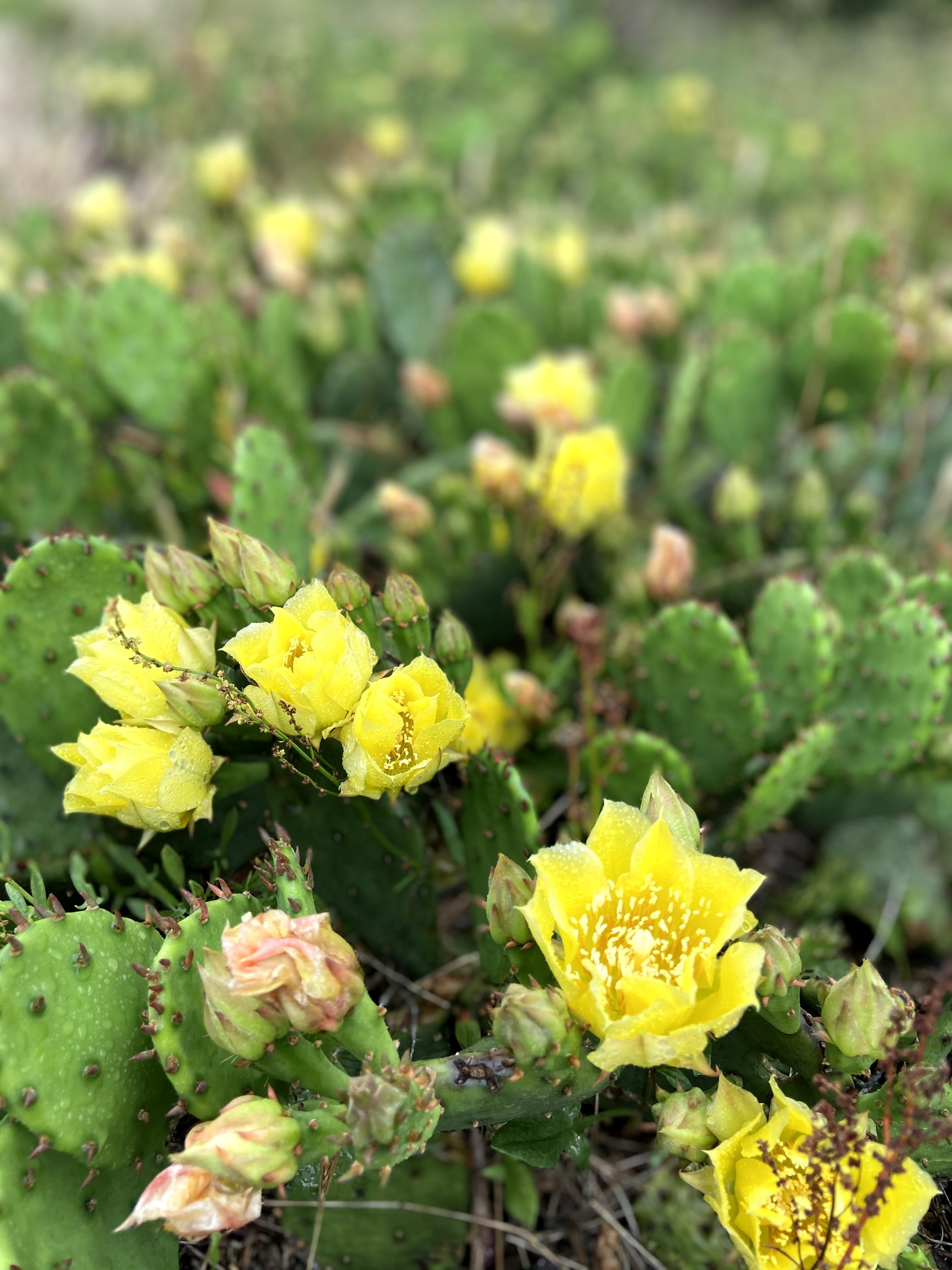 Assateague National Seashore - Cactus Flowers