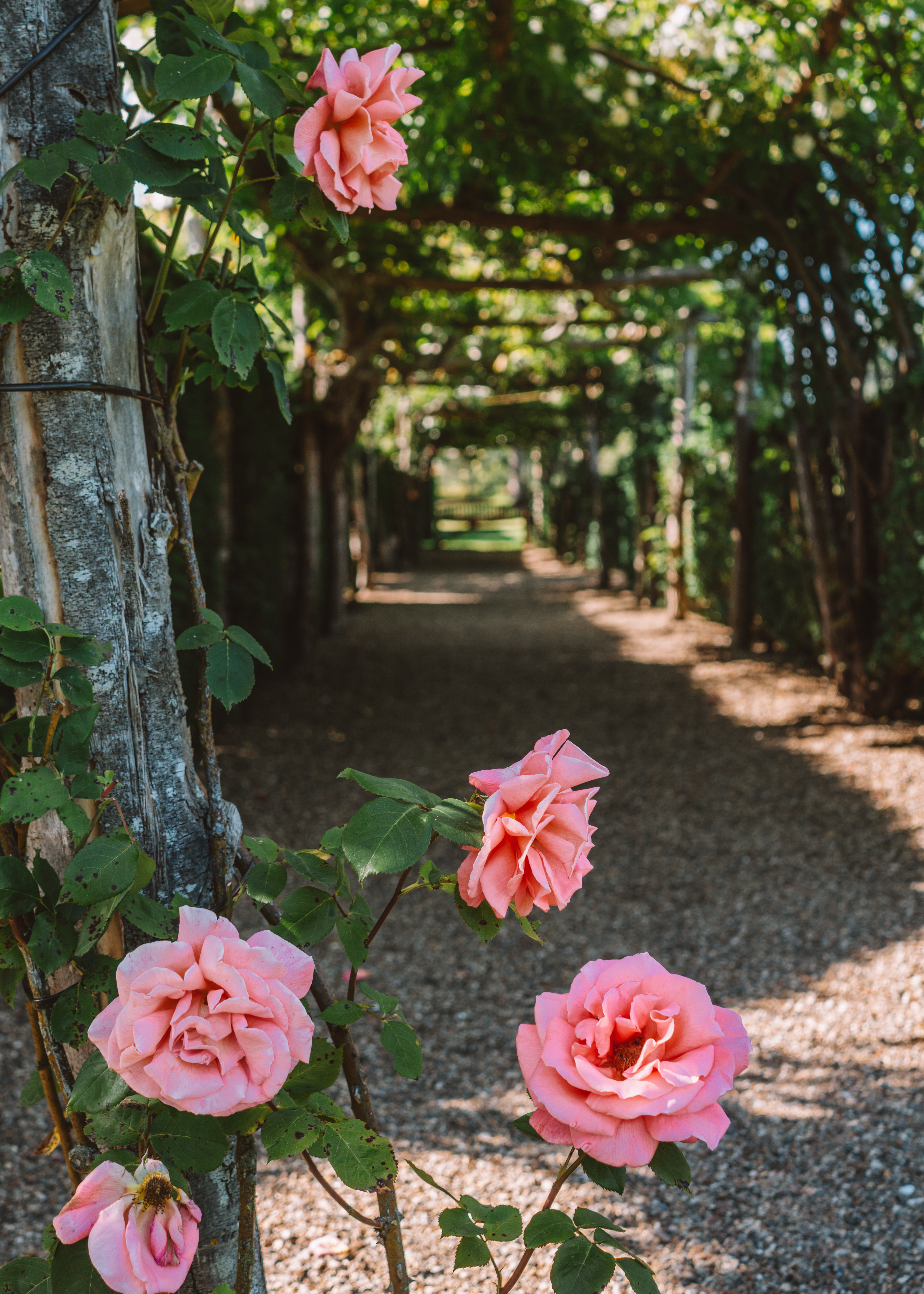 Roses at Hever Castle