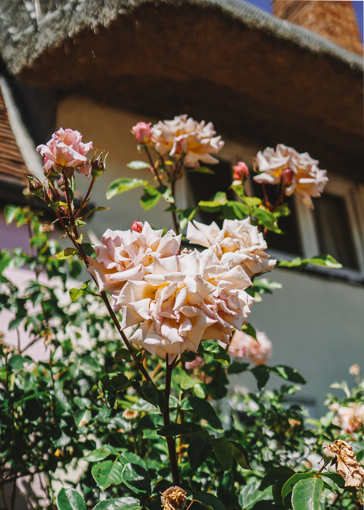Roses on a thatched cottage in Braughing