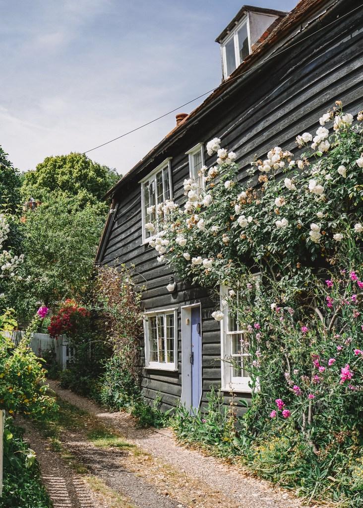 Climbing roses in Much Hadham, Hertfordshire