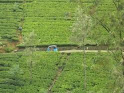 Labookellie tea plantation