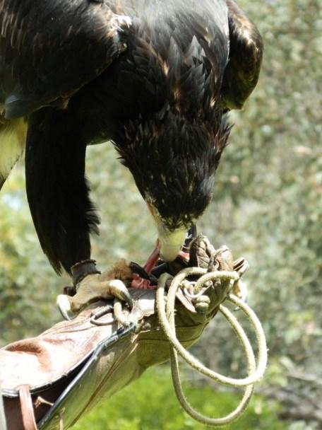 Jedda the Wedge Tailed Eagle