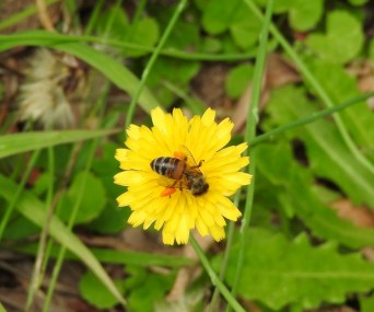 Dandelion with European Bee