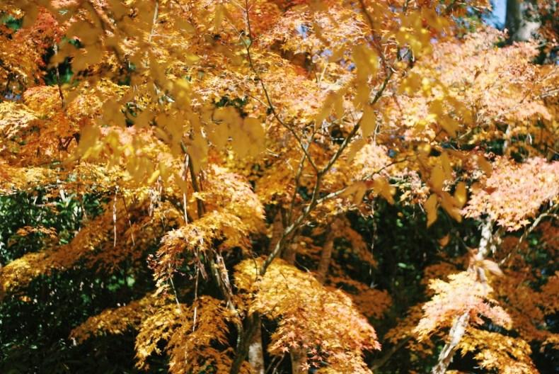 Breenhold Gardens of Mount Wilson Yellow Leaves