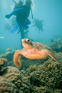 Great Barrier Reef, Diving, Underwater, Turtle
