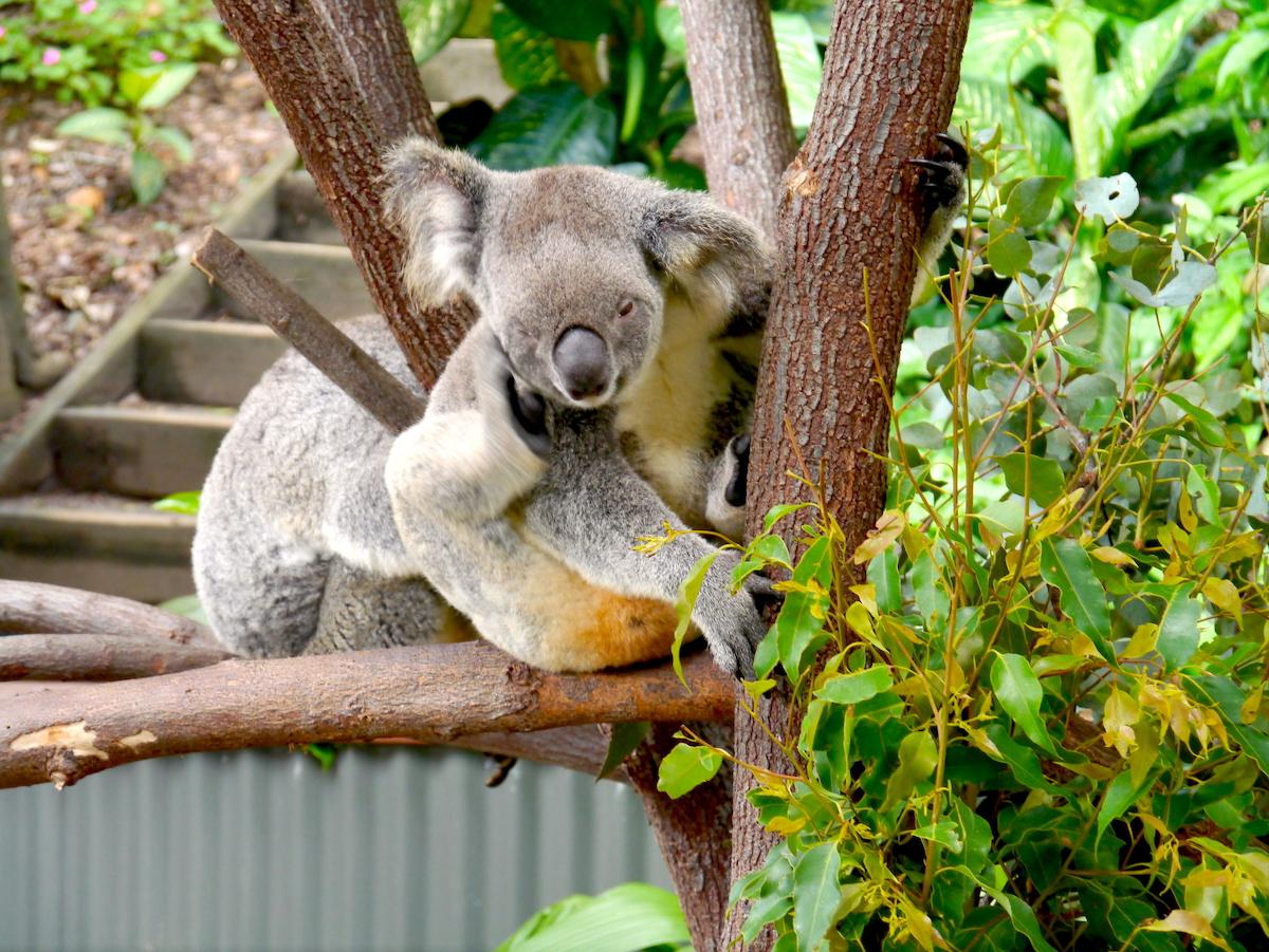 Cairns, Australia, Koala