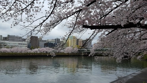 Osaka cherry blossoms