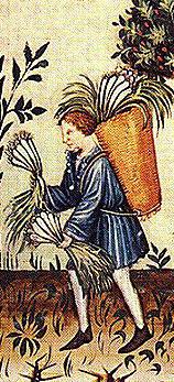 Peasent picking leeks 1200's