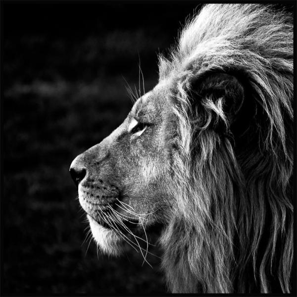 Lion Poster - Black And White Print