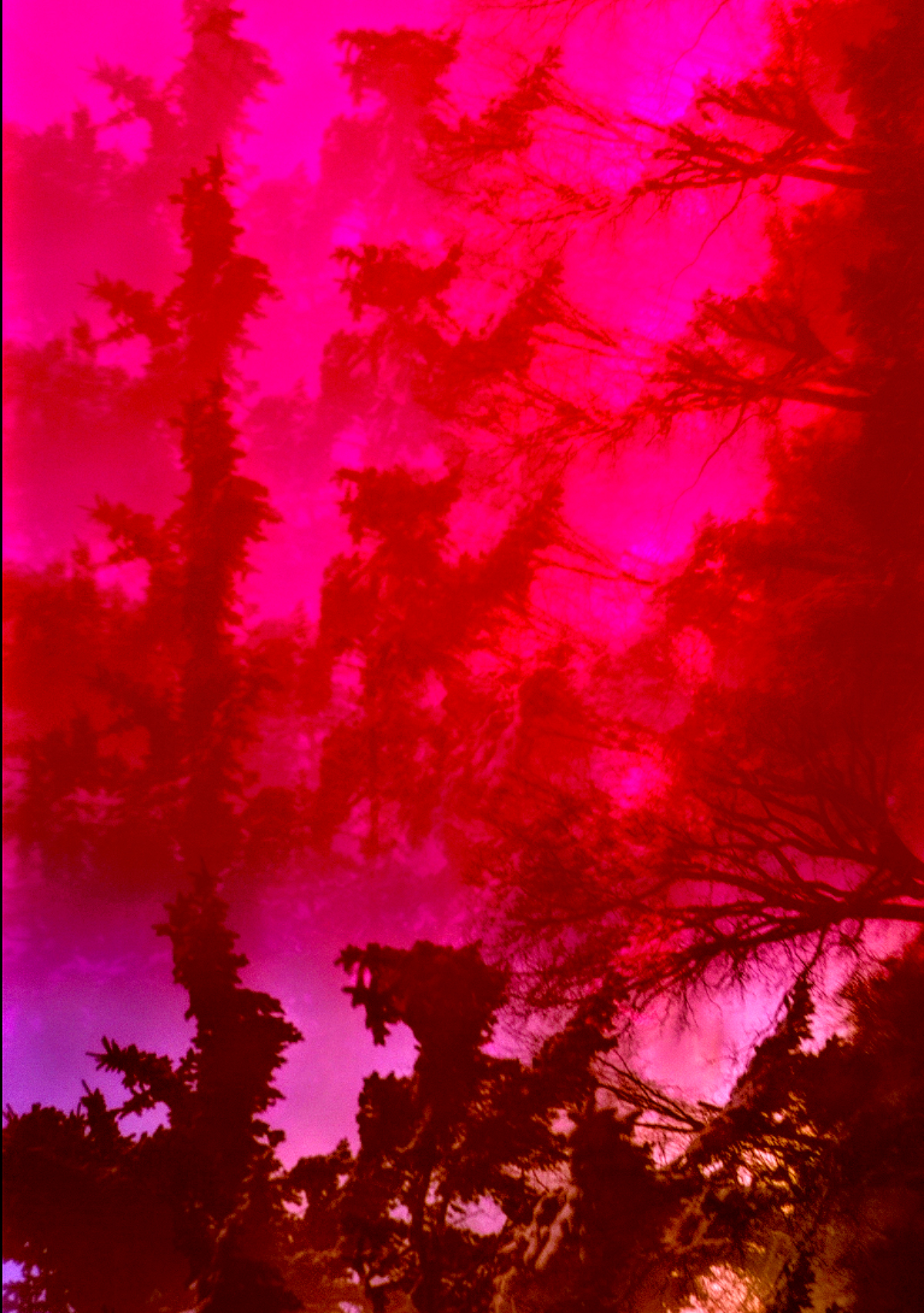 Layers of an image of trees juxtaposed atop each other against a hot pink background.