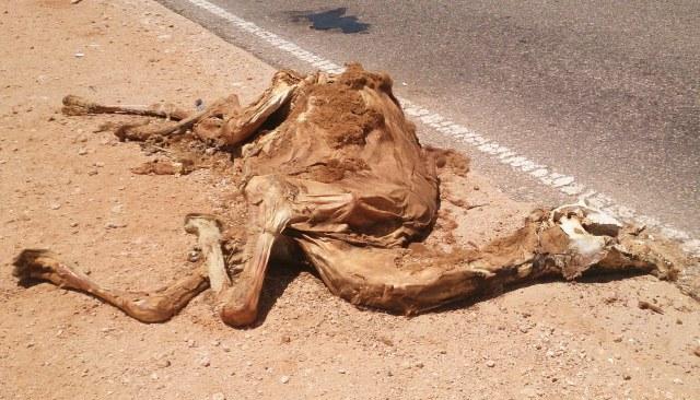 114 camel4