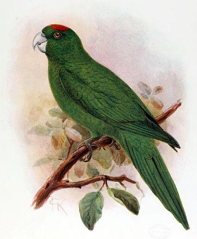 396px-Extinctbirds1907_P16_Conurus_labati0313-cropped