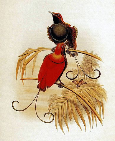 King_of_Hollands_Bird_of_Paradise