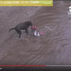 Labrador se zabrinuo za život dječaka