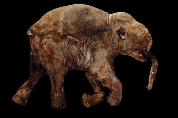 pui mamut (40.000 ani)