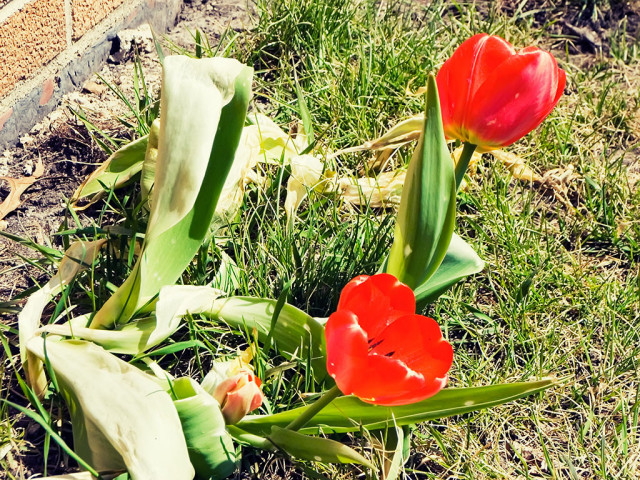 Build your Resilience -- Resilient Tulips -- photo courtesy of Iowa_spirit_walker