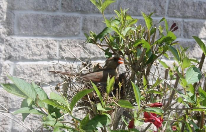 Female cardinal calling her mate
