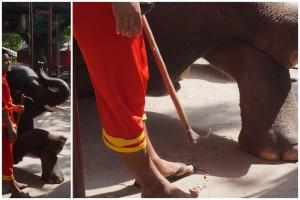 palica na slony krute zaobchadzanie thajsko