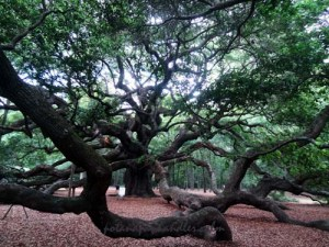 Angel Oak Charleston, South Carolina