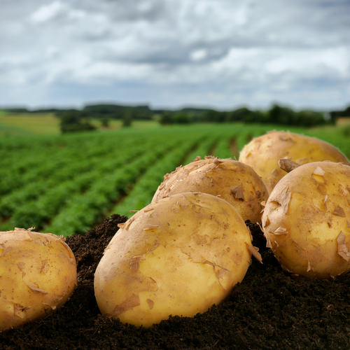 fresh-potatoes