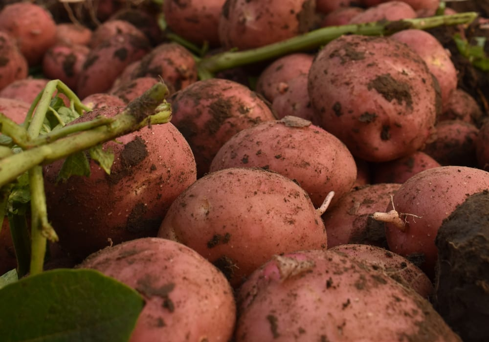 Canada: Potato shortage in Manitoba; processors shipping product from the US