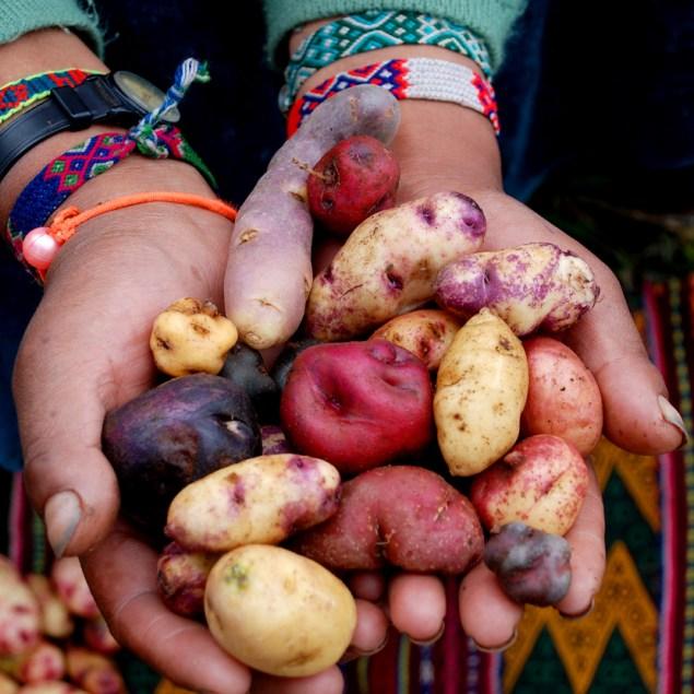 potato-planting59