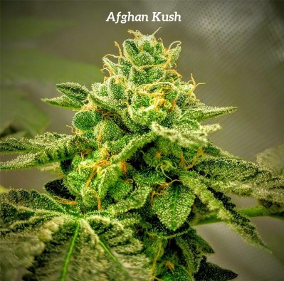 afghan-kush__primary_7dad
