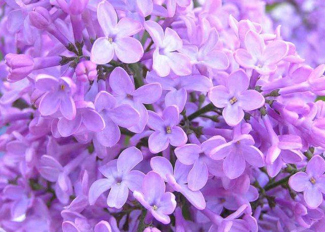 fotos-flores-lilas