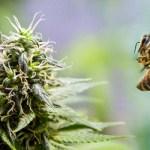 Cómo preparar miel con marihuana
