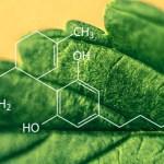 Plantas que no son Cannabis pero que también contienen Cannabinoides