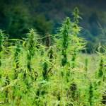 Tras legalizar la marihuana, en Uruguay anticipan una nueva revolución agrícola