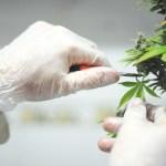 Listas las primeras licencias para cultivar cannabis psicoactivo en Colombia