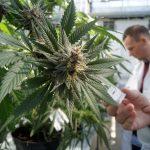 Habilitan primer centro para estudio de cannabis medicinal en Argentina