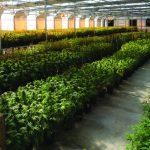 ¿Qué necesitas para entrar en el mercado mexicano de la marihuana?
