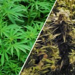 Marihuana vs. Hemp, lo que tienes que conocer
