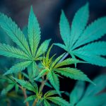 La equidad social es tema clave en legalización de marihuana en los Estados Unidos